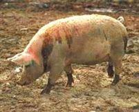 Astazi este ultima zi pentru depunerea cererilor de plata pe Masura 215 - Bunastarea porcinelor