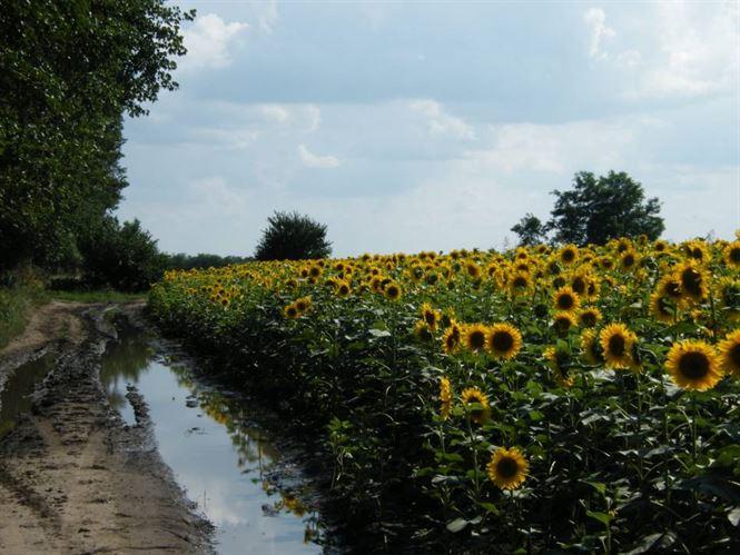 Dosar penal pentru ca a recoltat floarea soarelui apartinand altui consatean