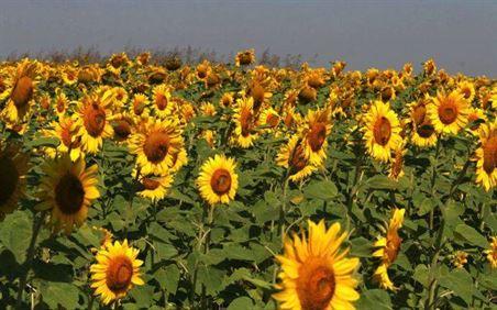 Furt de floarea soarelui