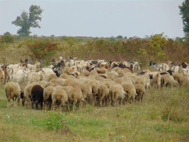 Pășunatul animalelor în terenul agricol va fi permis între 6 decembrie 2016 şi 24 aprilie 2017