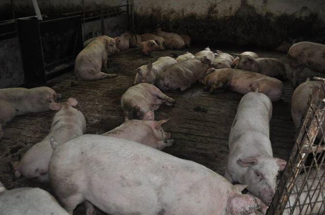 Pestă porcină africană la două ferme din comuna Ulmu