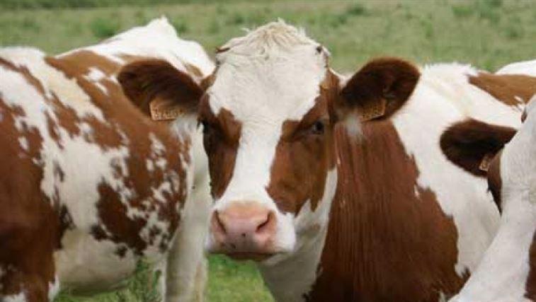 Este de bine: Romania a fost recunoscuta cu risc neglijabil iîn privinta bolii vacii nebune