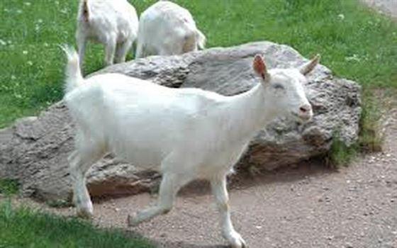 A furat capra cu doi iezi