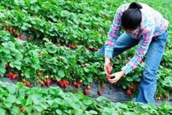 Ofertă de locuri de muncă sezonieră în agricultură, în Spania