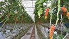 """Programul guvernamental """"Tomate"""" accesat de 52 de legumicultori braileni"""